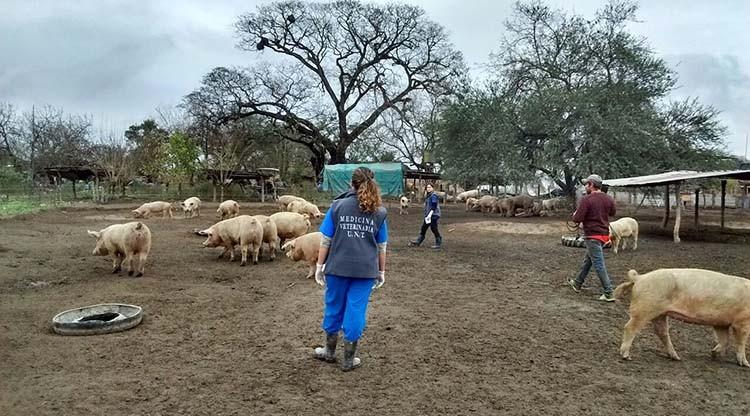 Investigan enfermedades en porcinos de la agricultura familiar