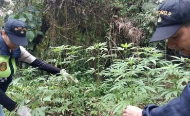 Erradican cultivos de marihuana en el camino a Las Estancias